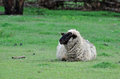 A Suffolk sheep alone in paddock Royalty Free Stock Photo