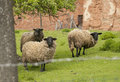 Suffolk sheep it is image of Royalty Free Stock Photo