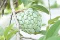 Sugar apple custard apple annona sweetsop tree produce ripe delicious tropical Royalty Free Stock Image