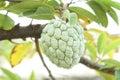 Sugar apple custard apple annona sweetsop tree produce ripe delicious tropical Stock Images