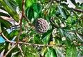stock image of  Sugar apple tree in spring season