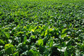 Sugar beet field Royalty Free Stock Images