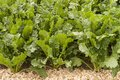Sugar beet field of young green Royalty Free Stock Image