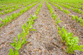 Sugar beet plants young in rows on a field Royalty Free Stock Images