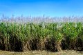 Sugar cane in bloom row of queensland full blossom Stock Images