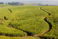 Sugar cane crop fire breaks farming with in between the crops photo image overlooking the green crops on the sloping hills and Royalty Free Stock Photography