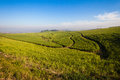 Sugar cane farming landscape agriculture fields with fire breaks in between the crops photo image overlooking the green crops on Stock Photo