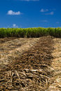 Sugar cane field Royalty Free Stock Photo
