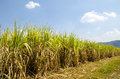 Sugar cane field crops in the tropics and the merchandise is shipped out of thailand Stock Photography