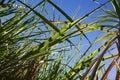 Sugar Cane Field Farming Stock Images