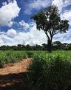 Sugar cane field with tree Royalty Free Stock Photo