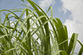 Sugar Cane Leaves Stock Photos