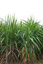 Sugar cane plant Royalty Free Stock Image