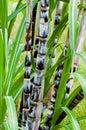 Sugar Cane Plant Closeup Tropi...