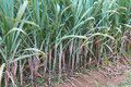 Sugar Cane Plantation Stock Photo