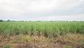 Sugar cane plantation and cultivated landscape