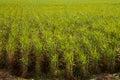 Sugar Cane Plantation Royalty Free Stock Photo
