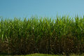 Sugar cane plantation in south west brazil for production of or etanol or alcohol Royalty Free Stock Photo
