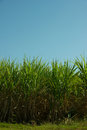 Sugar cane plantation in south west brazil for production of or etanol or alcohol Royalty Free Stock Images