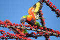 Sugar frenzy a rainbow lorikeet flaps its wings in a as it tastes the parrots love Royalty Free Stock Images