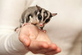 Sugar glider arboreal gliding possum seats on the hand petaurus breviceps omnivorous woman Royalty Free Stock Photo
