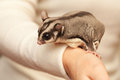 Sugar glider arboreal gliding possum seats on the hand petaurus breviceps woman Royalty Free Stock Images