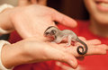 Sugar glider cub arboreal gliding possum lay on woman hand petaurus breviceps omnivorous Stock Photos