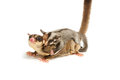 Sugar-glider mom and little joey cling back Stock Photography