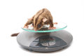 Sugar glider on weigh scales animal health Stock Photos