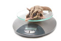 Sugar glider on weigh scales animal health Royalty Free Stock Images