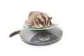Sugar glider on weigh scales animal health Stock Photography