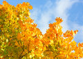 Sugar Maple (Acer Saccharum). Stock Photo