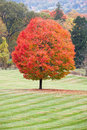 Sugar maple a beautiful with peak fall colors Royalty Free Stock Image