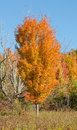 Sugar Maple in fall color Royalty Free Stock Photo