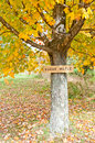 Sugar maple with a label Royalty Free Stock Photo