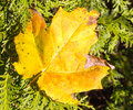 Sugar Maple Leaf On Evergreen