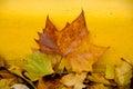 Sugar maple leaf on rocks next to a yellow bordure of sidewalk