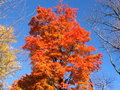 Sugar Maple - October Royalty Free Stock Images
