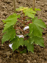 Sugar maple sapling twelve fourteen weeks from germination Royalty Free Stock Image