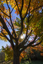 Sugar maple in spectacular october sunset Stock Photos