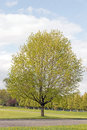 Sugar maple tree Royalty Free Stock Photo