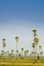 Sugar palm fields on cornfield Royalty Free Stock Photos