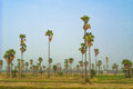 Sugar palm fields on cornfield Royalty Free Stock Photo