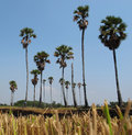 Sugar palm tree on burn rice field Royalty Free Stock Photo