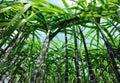 Sugarcane crops Royalty Free Stock Photo