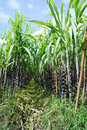 Sugarcane farm in the whit blue sky Stock Photo