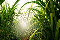 Sugarcane field in blue sky with white sun Royalty Free Stock Photo