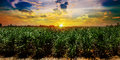 Sugarcane field in sunset sky and white cloud Royalty Free Stock Photo