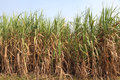 Sugarcane plantation (Ethanol fuel) Royalty Free Stock Photography