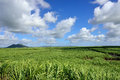 Sugarcane plantation on tropical island of mauritius Stock Images